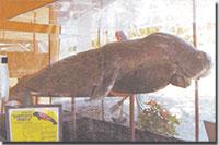 a dugong named princess dapia